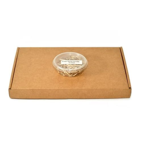 Buy banded crickets online | Banded Crickets | 1st Instar