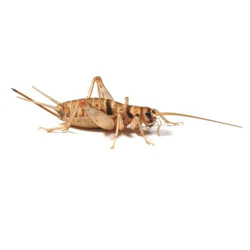 Buy Banded crickets online | Banded crickets | 2nd Instar