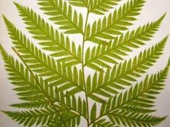 Ferns: British & Exotic