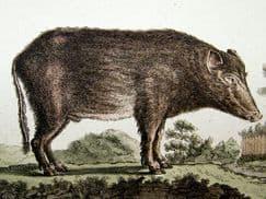 Cattle & Pig Family