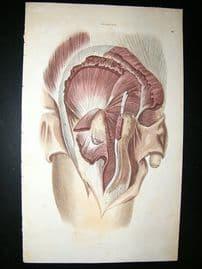 Anatomy Print 1826 Male Side Profile, Folio Hand Col.