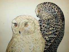 Morris, Francis Orpen (Birds)