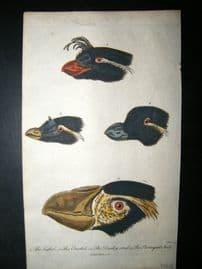 After George Edwards C1800 Hand Col Print. Bird Beaks & Heads. Parroquet Awk etc
