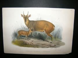 After Joseph Smit 1875 Hand Col Print. Cervulus Micrurus