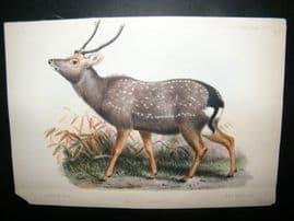After Joseph Wolf 1862 Hand Col Print. Cervus Taevanus Deer