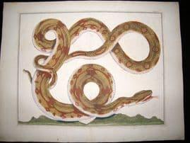 Albertus Seba C1750 LG Folio Hand Coloured Print. Snake 101
