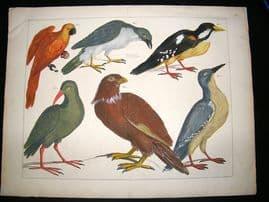 Albertus Seba: C1750 Mexican Birds 64. LG Folio Hand Col Print