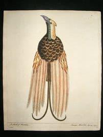 Albin: 1730's Hand Colored Bird Print. Bird of Paradise