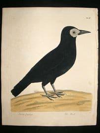Albin: 1730's Hand Colored Bird Print. Cornix Frugilega, The Rook