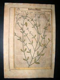 Aldini & Castelli 1625 H/Col Botanical Print. Folium Glandis Unguentariae
