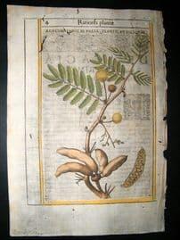Aldini & Castelli 1625 Hand Col Botanical Print. Acaiae Indicae Iolia