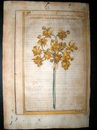 Aldini & Castelli 1625 Hand Col Botanical Print. Narcissus