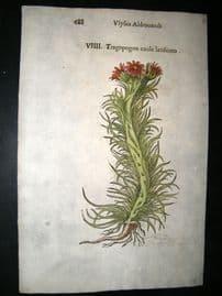 Aldrovandi 1642 Antique Hand Col Botanical Print. Tragopogon