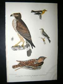 Alexander Wilson 1832 Hand Col Bird Print. Broad-Winged Hawk, Cape-May Warbler