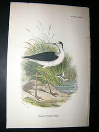Allen 1890's Antique Bird Print. Black-Winged Stilt