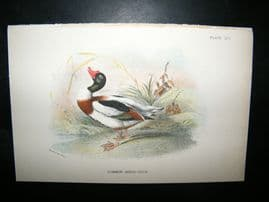 Allen 1890's Antique Bird Print. Commn Sheld Duck