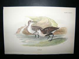Allen 1890's Antique Bird Print. Dunlin