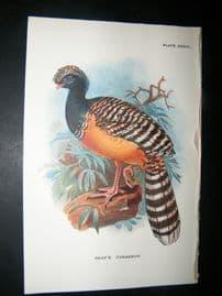 Allen 1890's Antique Bird Print. Gray's Curassow