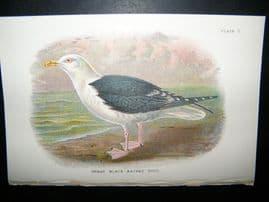 Allen 1890's Antique Bird Print. Great Blacked-Backed Gull