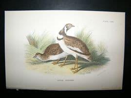 Allen 1890's Antique Bird Print. Little Bustard