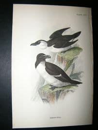 Allen 1890's Antique Bird Print. Razor-Bill