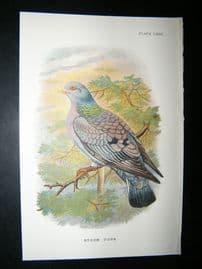 Allen 1890's Antique Bird Print. Stock Dove