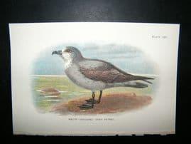 Allen 1890's Antique Bird Print. White-Throated Grey Petrel