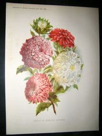 Amateur Gardening 1888 Antique Botanical Print. Group Of Annual Asters