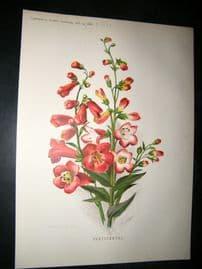 Amateur Gardening  1888 Antique Botanical Print.  Pentstemons