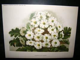 Amateur Gardening  1888 Antique Botanical Print.  Primula Gipsy Queen