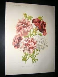 Amateur Gardening 1888 Antique Botanical Print. Select Double Petunias
