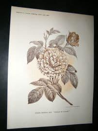 Amateur Gardening 1888 Antique Botanical Print. Striped Orovence Rose