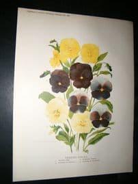 Amateur Gardening 1889 Antique Botanical Print. Bedding Violas
