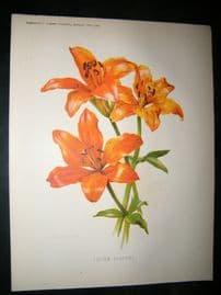 Amateur Gardening 1889 Antique Botanical Print. Lilium Elegans lily