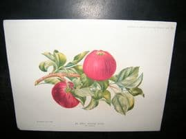 Amateur Gardening 1892 Antique Botanical Print. An Early dessert Apple, Fruit