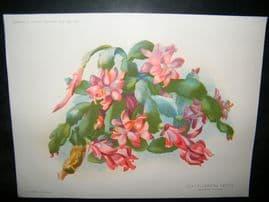 Amateur Gardening 1892 Antique Botanical Print. Leaf-flowering cactus