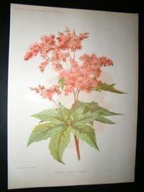 Amateur Gardening 1895 Botanical Print. Crimson Meadow Sweet