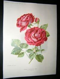 Amateur Gardening 1896 Botanical Print. Hybrid Perpetual Rose