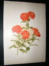 Amateur Gardening 1896 Botanical Print. Lantanas