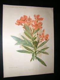 Amateur Gardening 1896 Botanical Print. Oleander