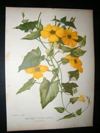 Amateur Gardening 1902 Botanical Print. Half Hardy Annual Climber