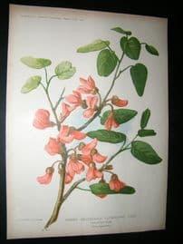 Amateur Gardening 1902 Botanical Print. Judas Tree