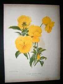 Amateur Gardening 1902 Botanical Print. New Yellow Viola