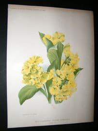 Amateur Gardening 1902 Botanical Print. Self-Coloured Alpine Auricula