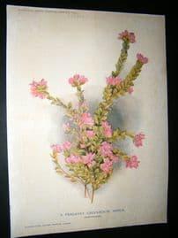 Amateur Gardening 1903 Botanical Print. Boronia Serrulata