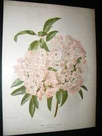 Amateur Gardening 1903 Botanical Print. Calico Bush