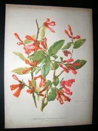 Amateur Gardening 1903 Botanical Print. Greenhouse Flowering Shrub