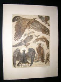 Anton Seder 1896 LG Folio Art Nouveau Print. Hawk Falcon Birds