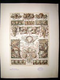 Anton Seder 1896 LG Folio Art Nouveau Print. Shells 8