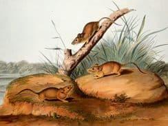 Audubon, John James & John Woodhouse